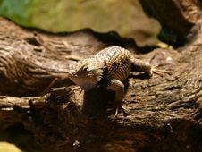 Free Agama Lizard Royalty Free Stock Image - 4693866