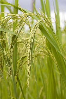 Free Rice Plant Stock Photo - 4693880