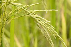 Free Rice Plant Stock Photography - 4694092