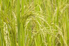 Free Rice Plant Stock Photos - 4694283