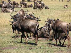 Free Wildebeast Migration Stock Photos - 4694533