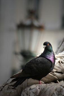 Free Pigeon Stock Photography - 4695002