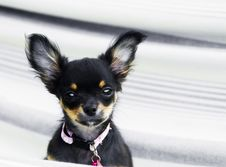 Free Chihuahua Royalty Free Stock Images - 4695669