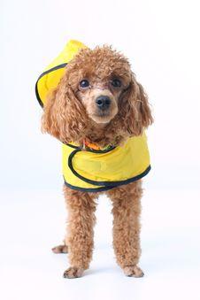Free Poodle Stock Photo - 4696040