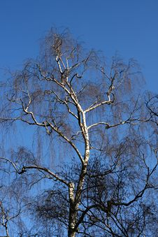Free Tree With Branches Royalty Free Stock Photography - 4699467