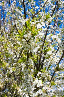 Free Plum Tree Blossoms Stock Photography - 4699472