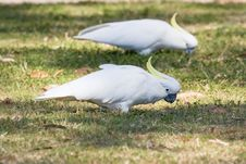 Sulphur Crested Cockatoos Royalty Free Stock Images