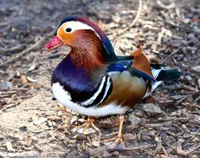 Side View Of A Exotic Mandarin Duck Stock Photo