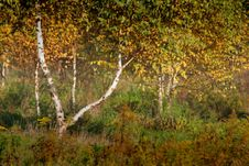Free Birches And Grass Stock Photos - 4699533