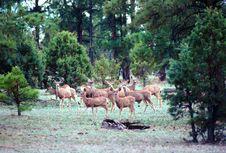 Free Herd Of Whitetail Deer Stock Image - 4699671