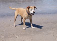 Dog At Play On Beach Stock Image