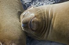 Free Sleeping Sea Lion Royalty Free Stock Images - 4699799