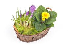 Free Violet Crocuses And Yellow Primrose Stock Photo - 4699830