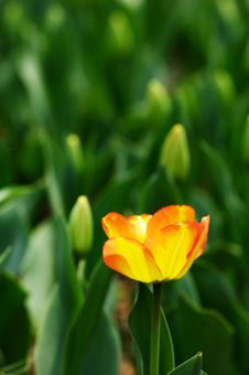 Free Orange Tulip Stock Photos - 4699913