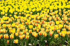 Free Yellow Tulips Stock Photography - 4699922
