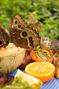 Free Owl Butterfly Eating Fruit Royalty Free Stock Image - 475536