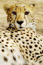 Free Cheetah (Acinonux Jubatus) Cubs, South Africa Stock Photos - 477013