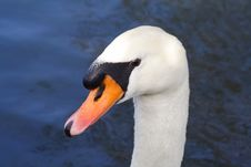 Free Close Up Of A Swans Head Stock Photo - 470020