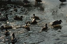 Free Ducks On A Lake Royalty Free Stock Photography - 470757