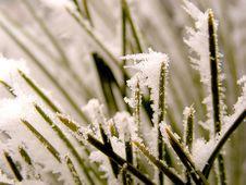 Free Snowy Needles Royalty Free Stock Photos - 472968
