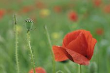 Free Poppy Royalty Free Stock Photos - 472988