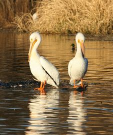 Free Pelican Twins Stock Photo - 473350