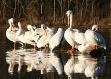 Free Flock Of Pelicans Stock Photography - 473352
