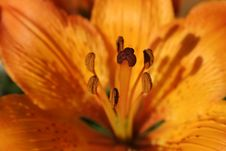 Free Orange Lily Royalty Free Stock Photography - 473527
