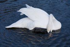 Free Swan Stock Image - 474311