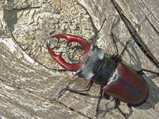 Free The Horned Bug. Royalty Free Stock Photos - 475178
