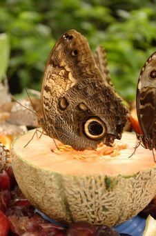 Free Owl Butterfly On Cantaloupe Stock Image - 475541