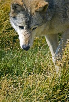 Free Curious Timber Wolf - Vertical Royalty Free Stock Photos - 475908