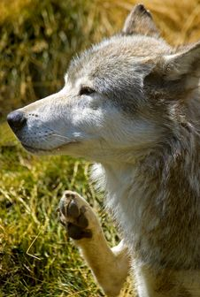 Free Itchy Timber Wolf Stock Photo - 475910