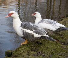 Free Ducks Royalty Free Stock Photo - 475965