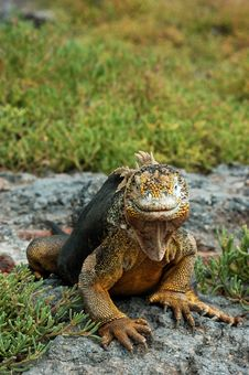 Free Galapagos Land Iguana Royalty Free Stock Photos - 476308