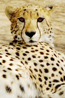 Free Cheetah (Acinonux Jubatus) Cubs, South Africa Stock Photos - 477013