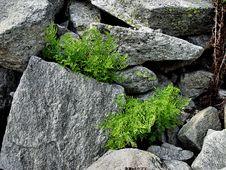 Free Stone Fern Royalty Free Stock Photo - 477035