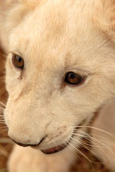Free White Lion Cub, South Africa Royalty Free Stock Photos - 477438