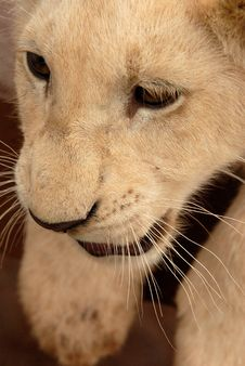 Free White Lion Cub, South Africa Stock Photo - 477440