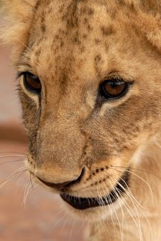Free Lion Cub, South Africa Royalty Free Stock Image - 477776