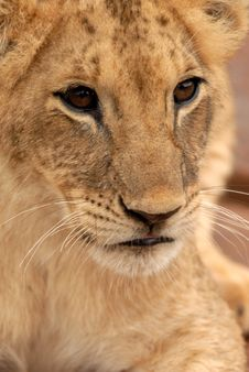 Lion Cub, South Africa Royalty Free Stock Photos