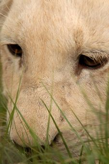Free White Lion Cub, South Africa Stock Photo - 477780