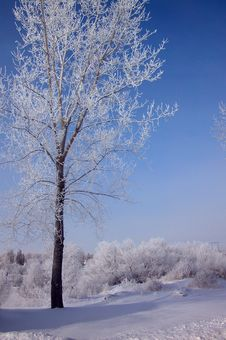 Free Frosted Trees Stock Photography - 478222