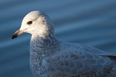 Free Headlit Seagull Stock Images - 479374