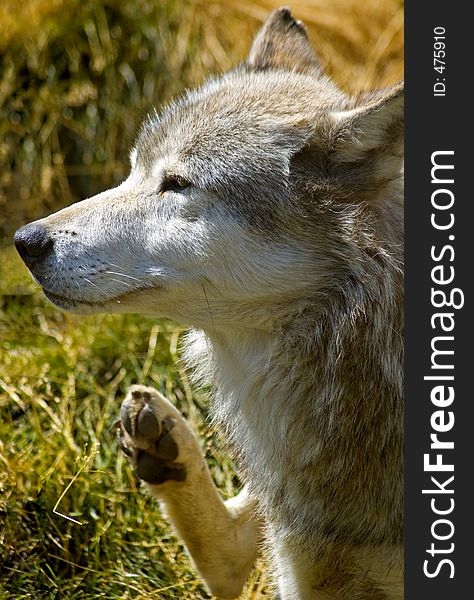 Itchy Timber Wolf