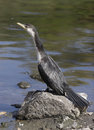 Free Cormorant Royalty Free Stock Image - 4708466