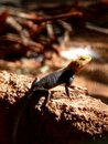Free Agama Sunbathing Royalty Free Stock Photo - 4709105