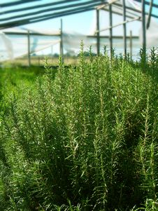 Free Natural Herbs In A Greenhouse Royalty Free Stock Images - 4700039