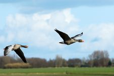 Free Geese In Flight Stock Photos - 4700813