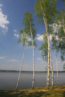 Free Birches Next To The Lake Royalty Free Stock Image - 4700836